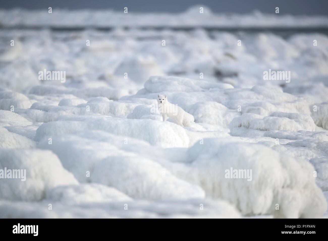Arctic fox (Vulpes lagopus) walking through the ice chunks on Hudson Bay; Churchill, Manitoba, Canada - Stock Image