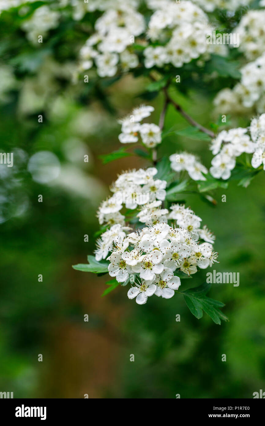 Close Up Of Small Delicate White Hawthorn Tree Crataegus May