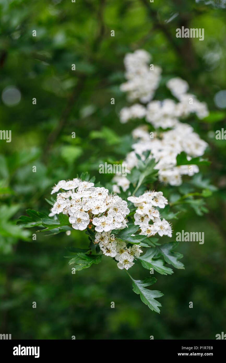 Close up of small, delicate white hawthorn tree (crataegus, may) flowers, flowering in spring, typical blossom, Surrey, southeast England, UK - Stock Image