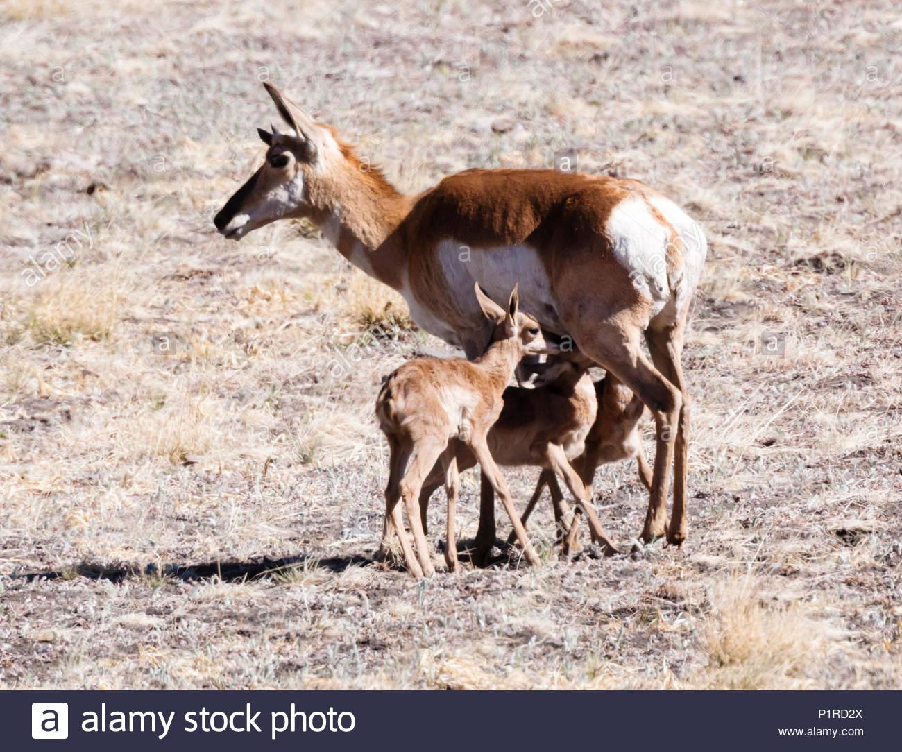 nurse mammals stock photos nurse mammals stock images alamy