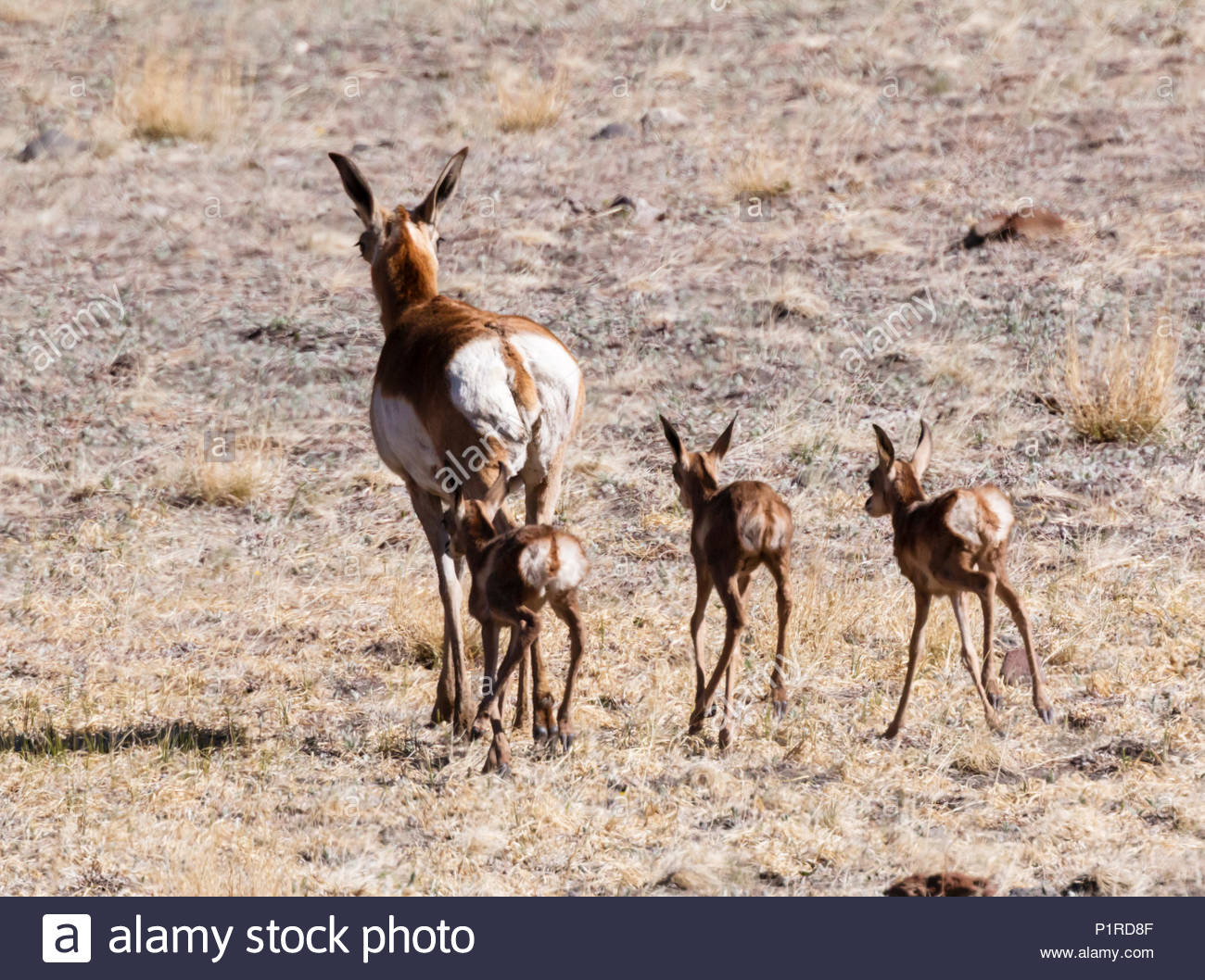 pronghorn-antilocapra-americana-doe-with-triplet-fawns-walking-arizona-usa-P1RD8F.jpg