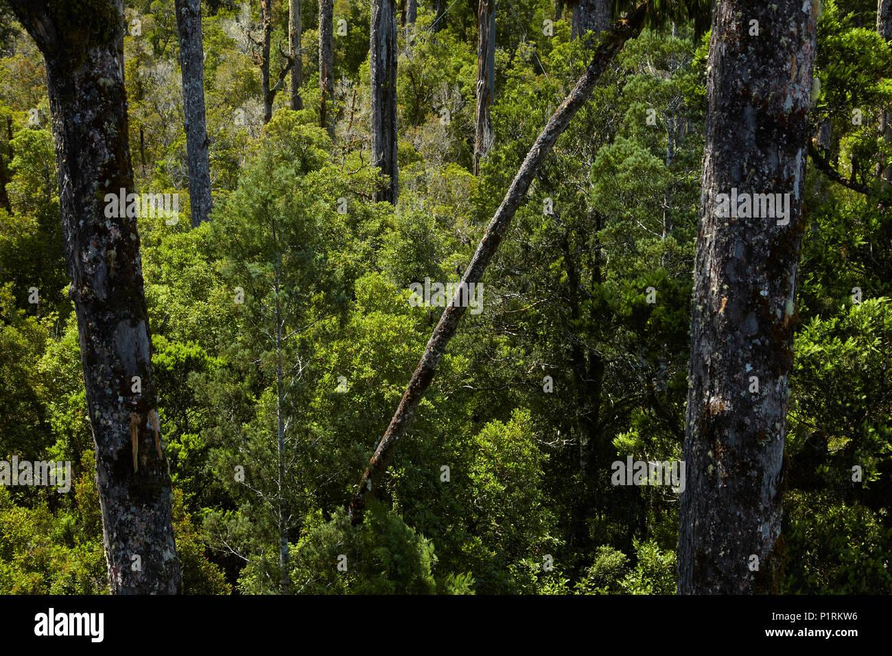Native forest seen from Treetop Walkway, near Hokitika, West Coast, South Island, New Zealand - Stock Image