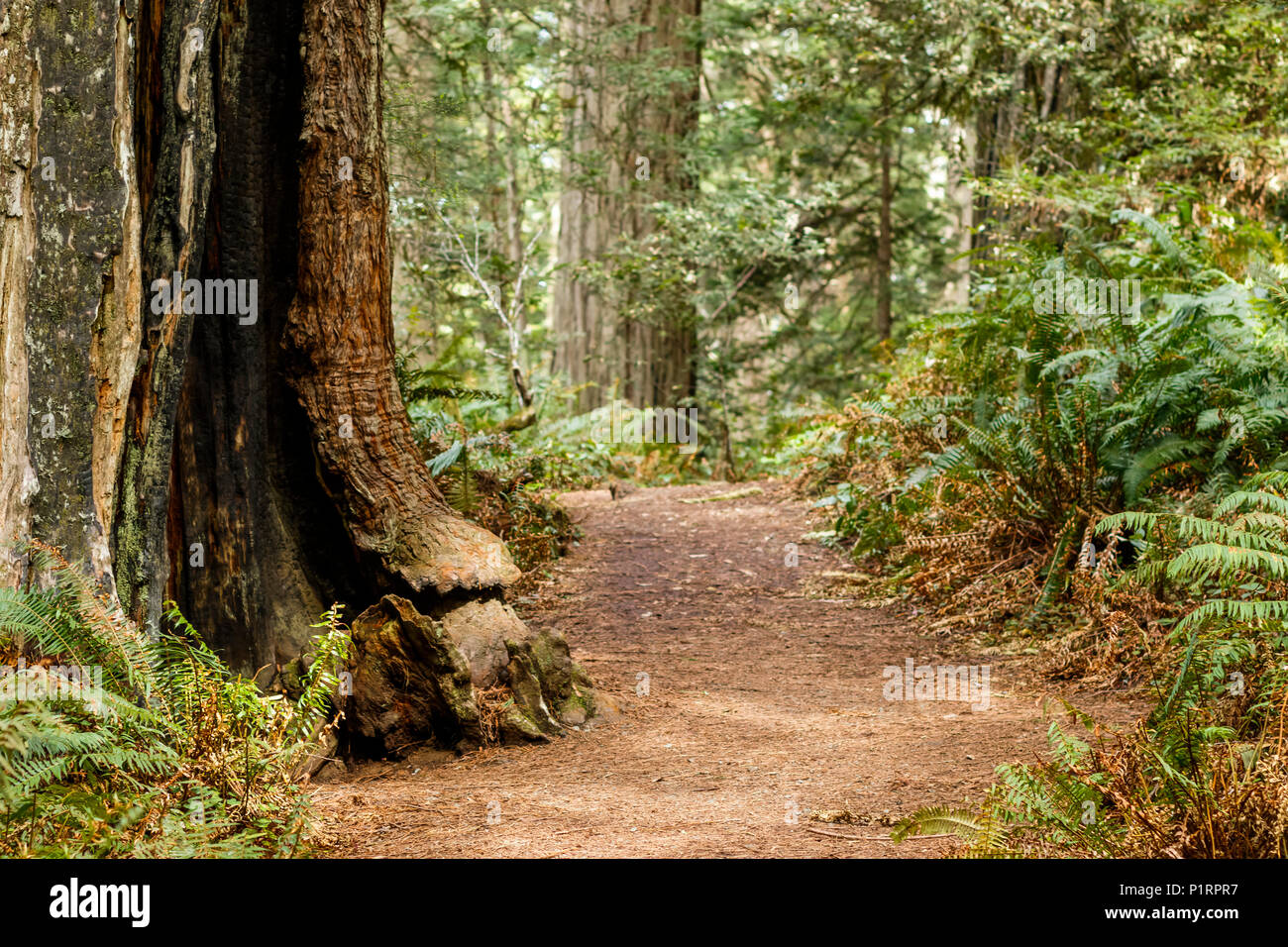 Redwood trees and ferns along a trail, Lady Bird Johnson Grove, Redwood National and State Parks; Orick, California, United States of America Stock Photo