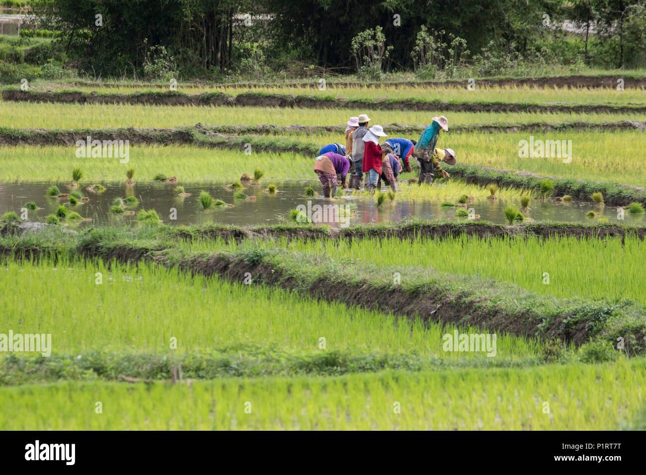 People planting rice in fields near Phonsavan; Xiangkhouang, Laos - Stock Image