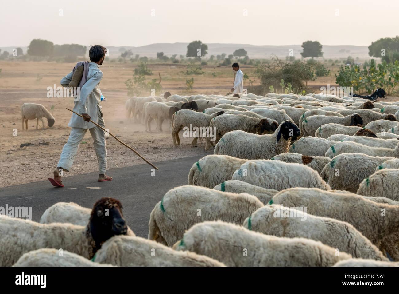 Men herding a flock of sheep along a road; Damodara, Rajasthan, India - Stock Image
