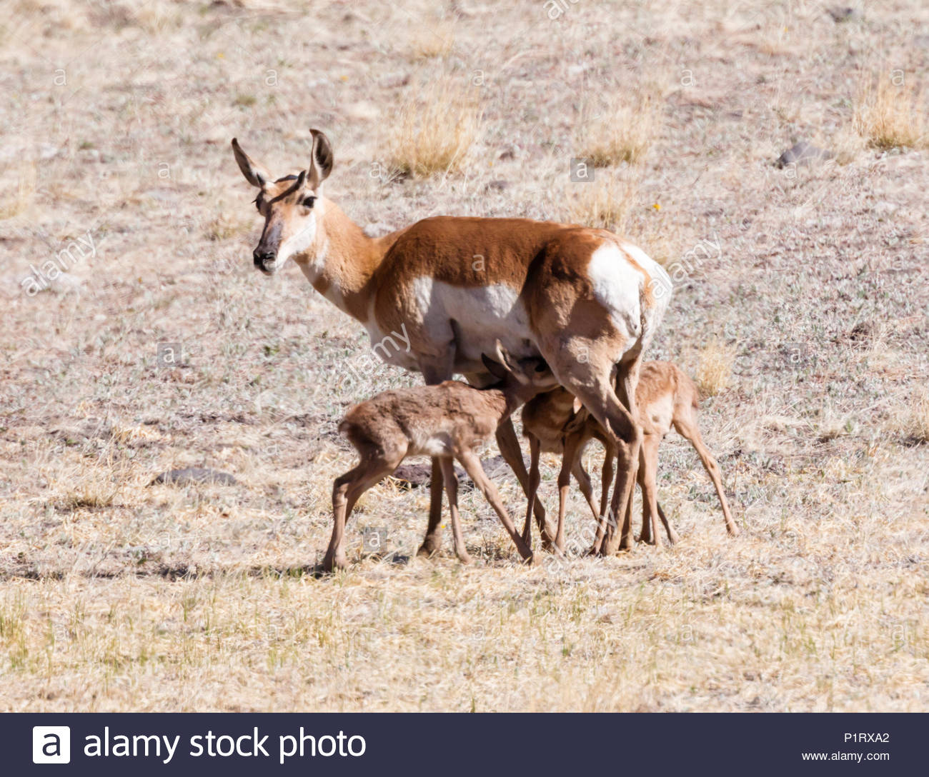 pronghorn-antilocapra-americana-doe-with-triplet-fawns-nursing-arizona-usa-P1RXA2.jpg