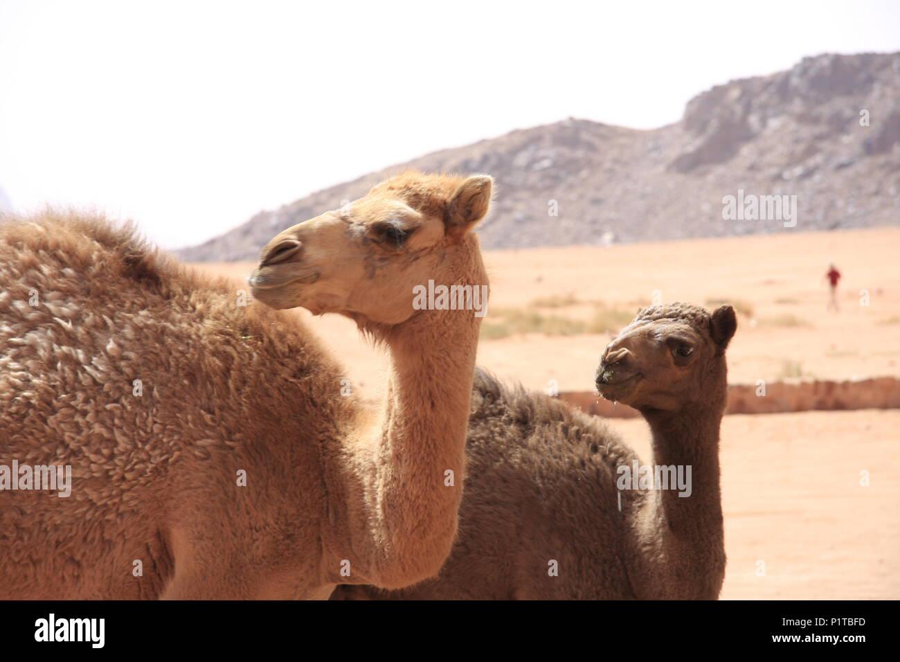Camels at a watering hole in Wadi Rum, Jordan's Desert - Stock Image