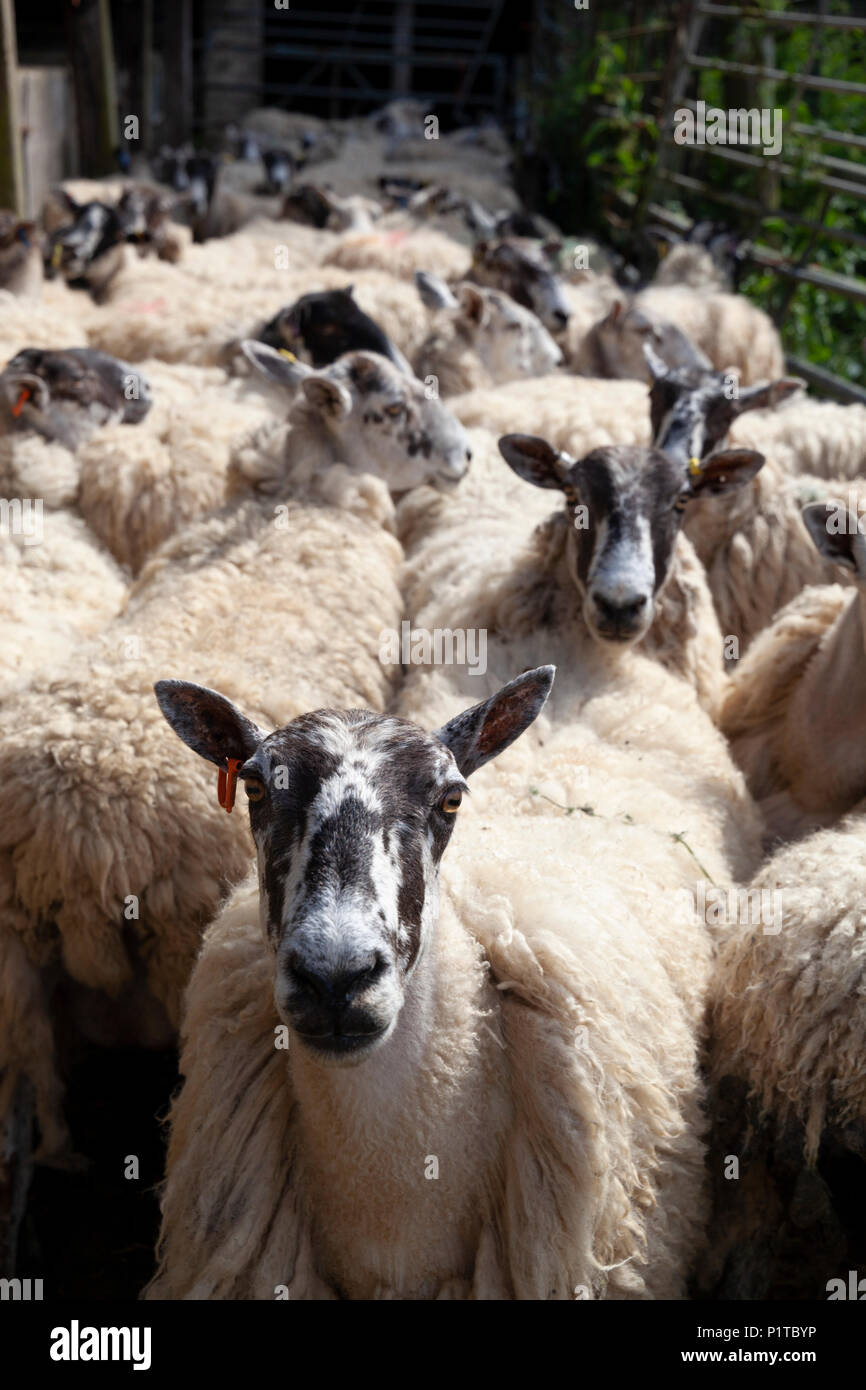 Flock of North Country Mule sheep in farmyard waiting to be sheared, Stow-on-the-Wold, Cotswolds, Gloucestershire, England, United Kingdom, Europe - Stock Image