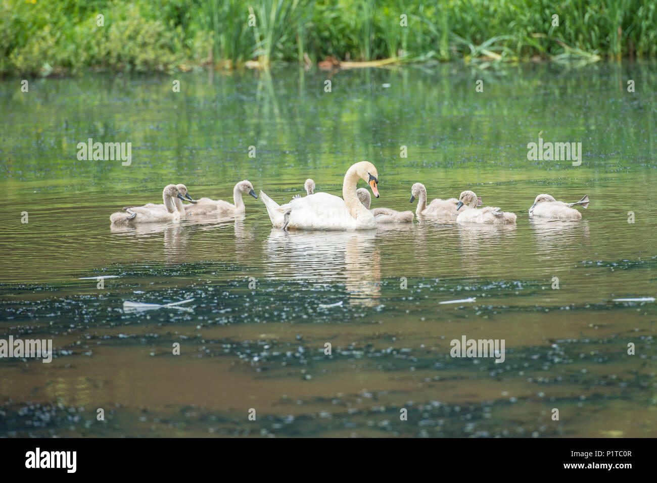 mute swan and cygnets Stock Photo