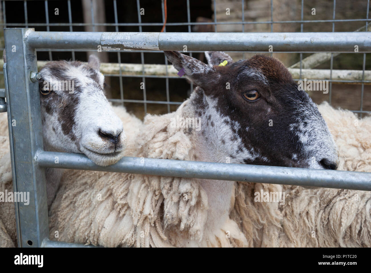 North Country Mule sheep in farmyard waiting to be sheared, Stow-on-the-Wold, Cotswolds, Gloucestershire, England, United Kingdom, Europe - Stock Image