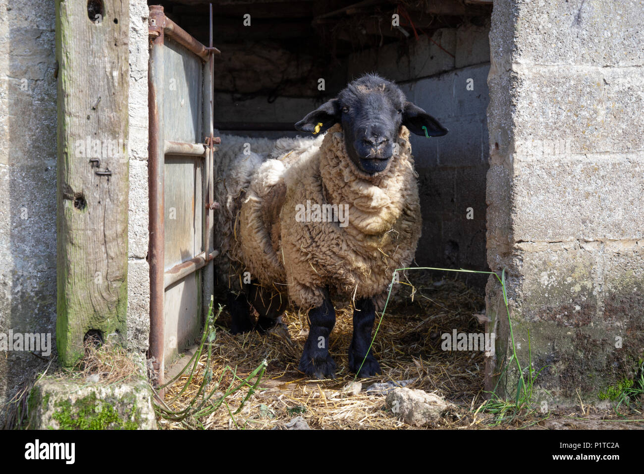 North Country Mule ram in farmyard looking at camera, Stow-on-the-Wold, Cotswolds, Gloucestershire, England, United Kingdom, Europe - Stock Image