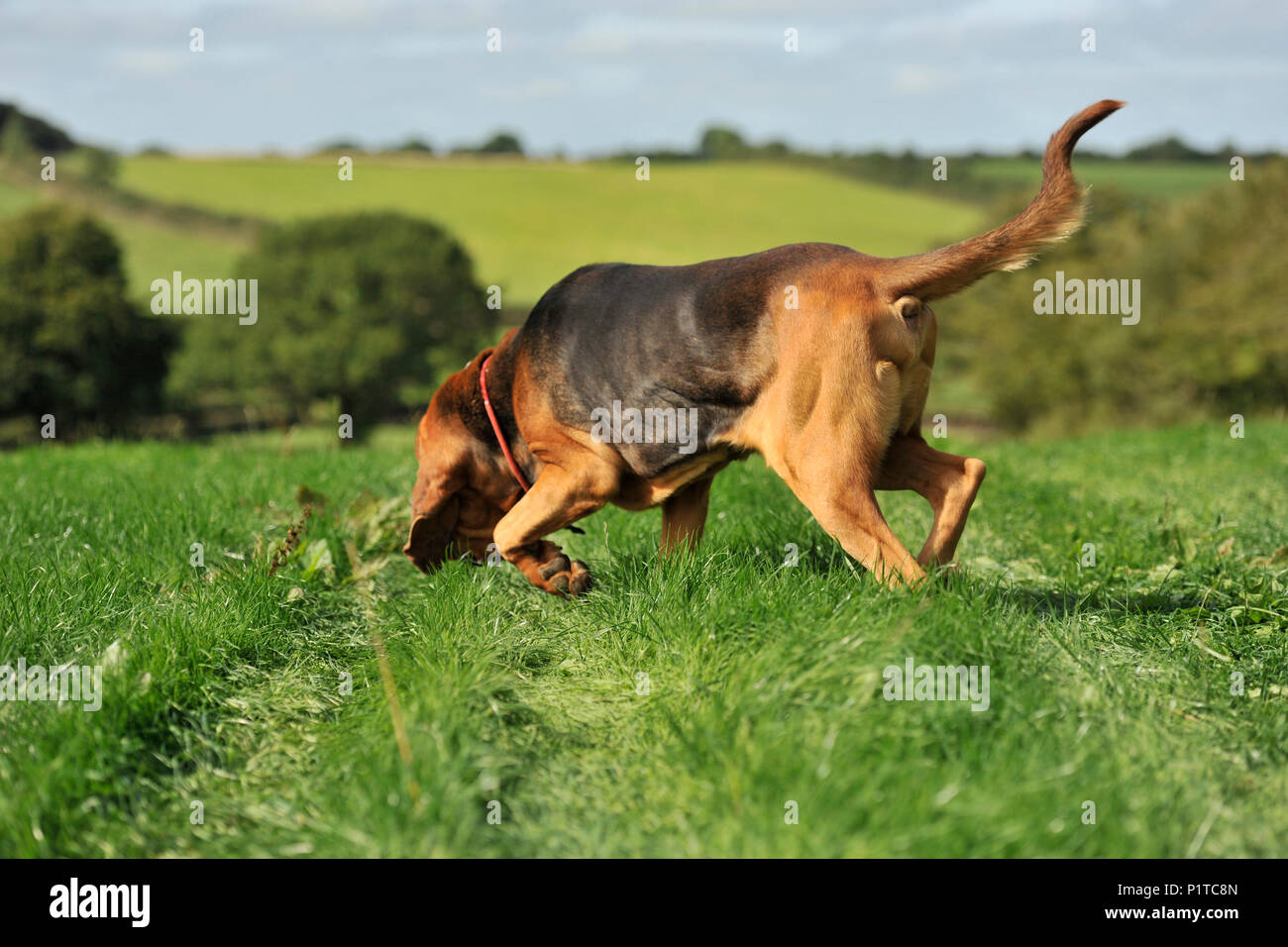 bloodhound sniffer dog - Stock Image