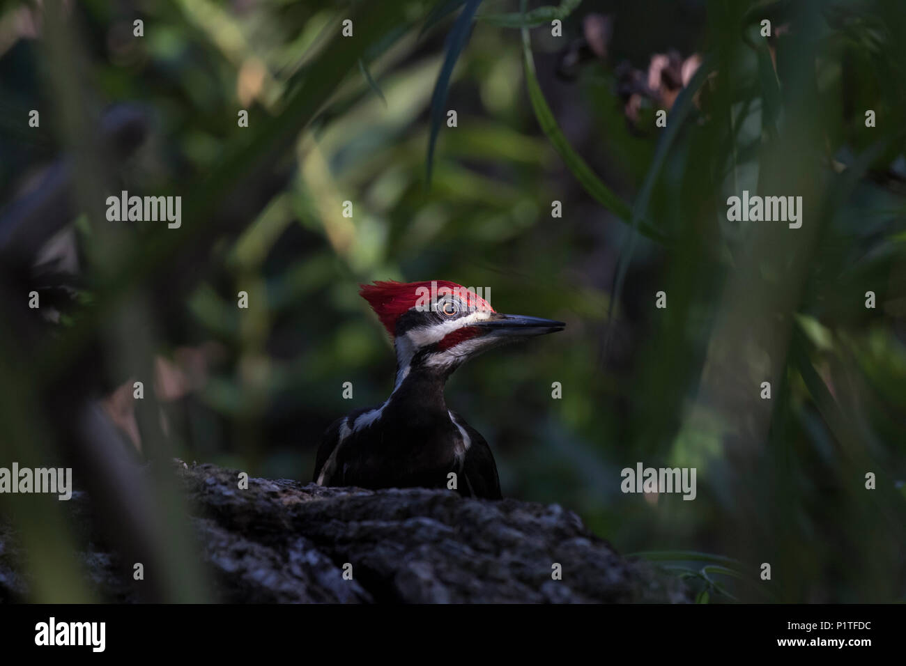 A male pileated woodpecker (Dryocopus pileatus) pauses his search for grubs on a downed log on the forest floor in Florida. - Stock Image