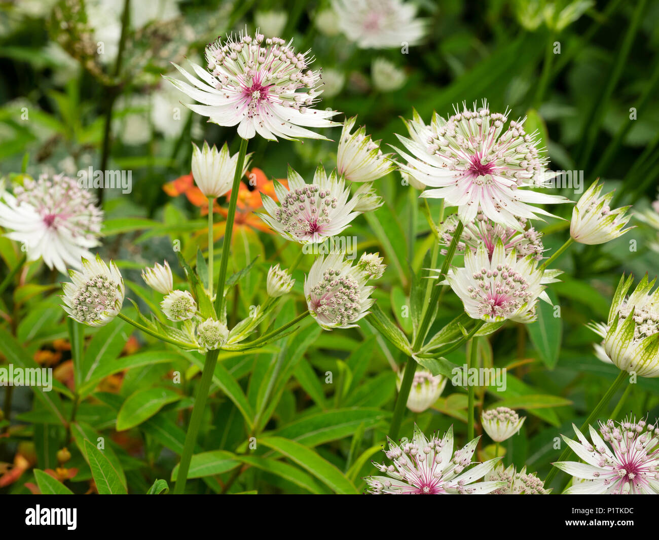 Green tipped white flowers of the hardy perennial masterwort, Astrantia major 'Buckland'.  Mature flowers develop a pink flush at the base - Stock Image