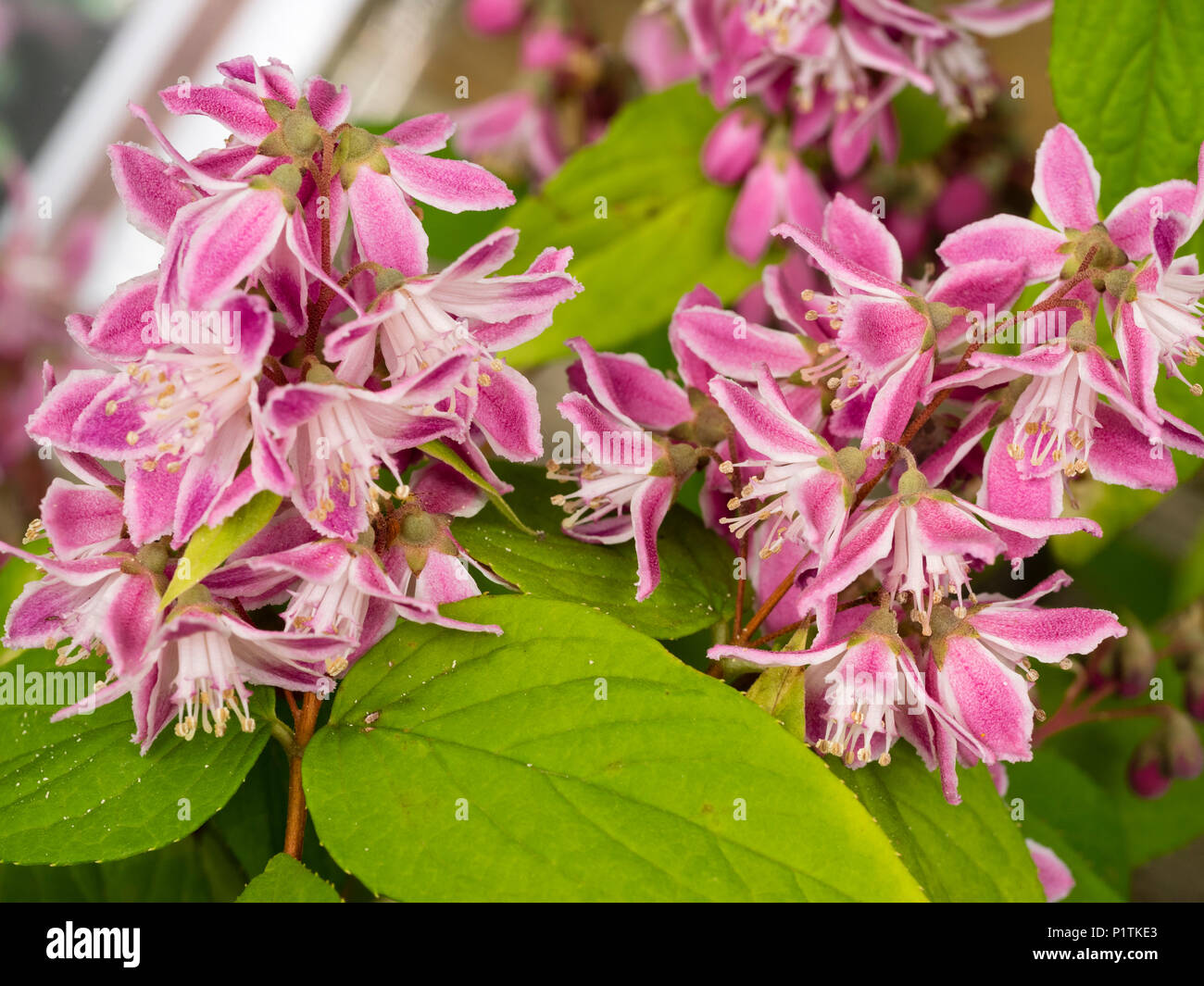 1 X DEUTZIA HYBRIDA /'STRAWBERRY FIELDS/' DECIDUOUS SHRUB HARDY PLANT IN POT