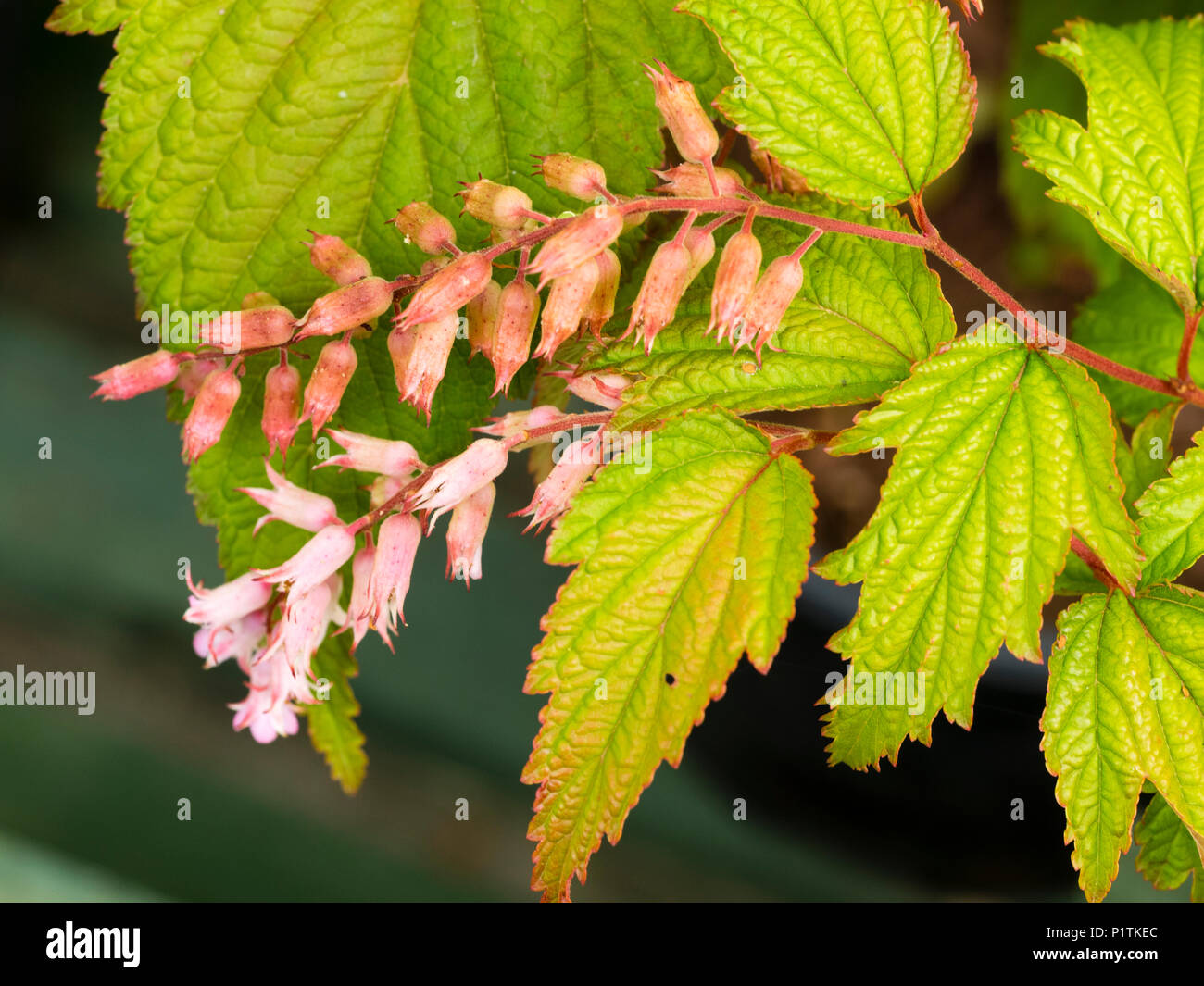 Small pink flowers of the hardy deciduous thicket forming shrub, Neillia thibetica Stock Photo