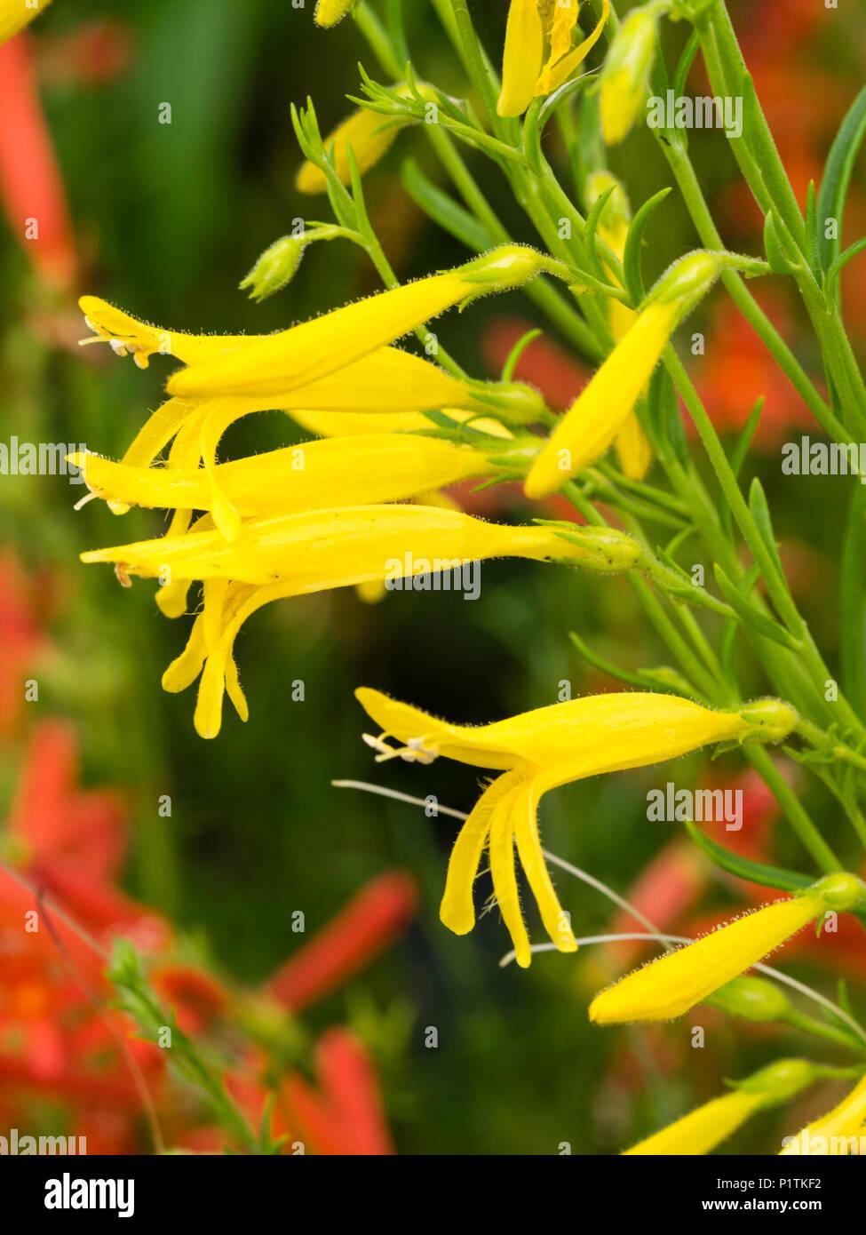 Yellow tubular flowers stock photos yellow tubular flowers stock yellow tubular flowers of the dwarf summer flowering sub shrub penstemon pinifolius mersea mightylinksfo