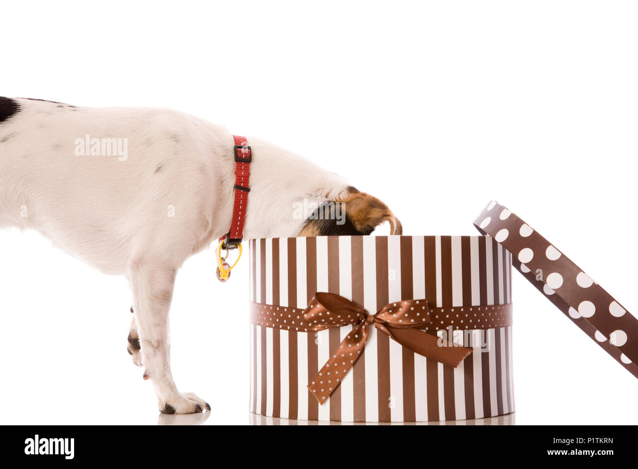A pet dog opening a present, or being naughty and stealing from gift box. Stock Photo