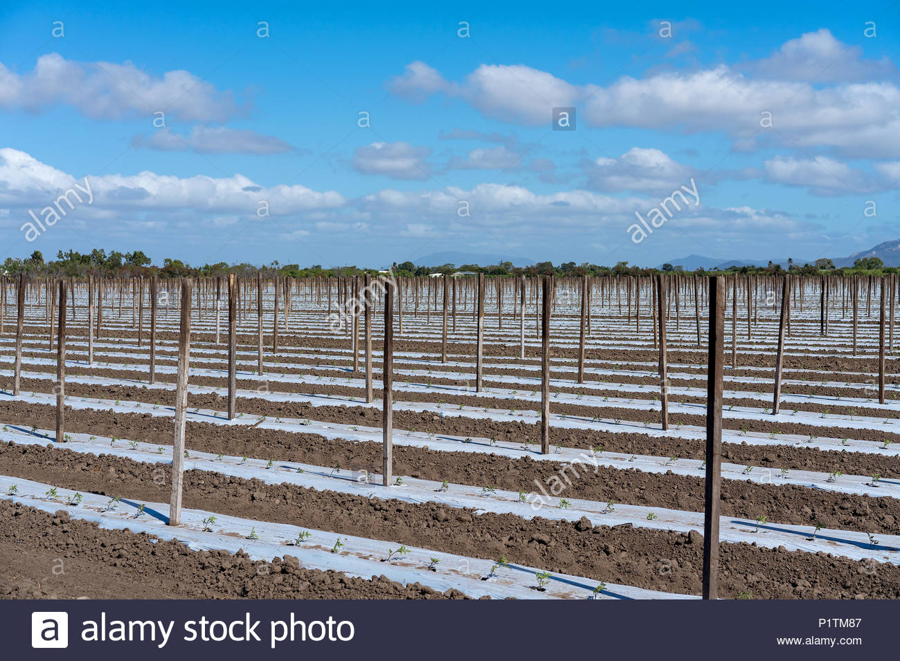 Rows of young tomatoes planted in plastic to prevent weeds. The ...