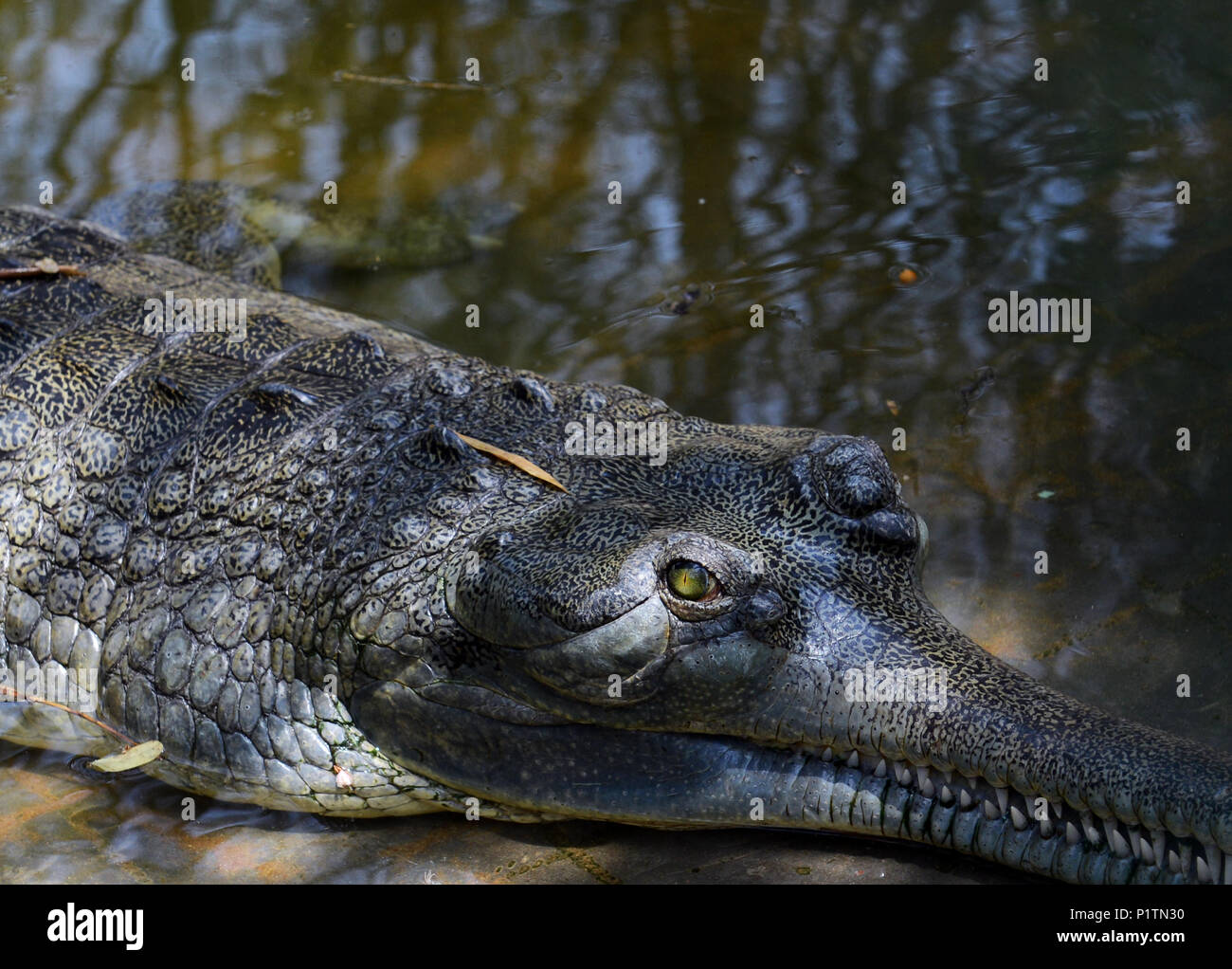 A Close up of a Gharial - Fish-Eating crocodile. - Stock Image