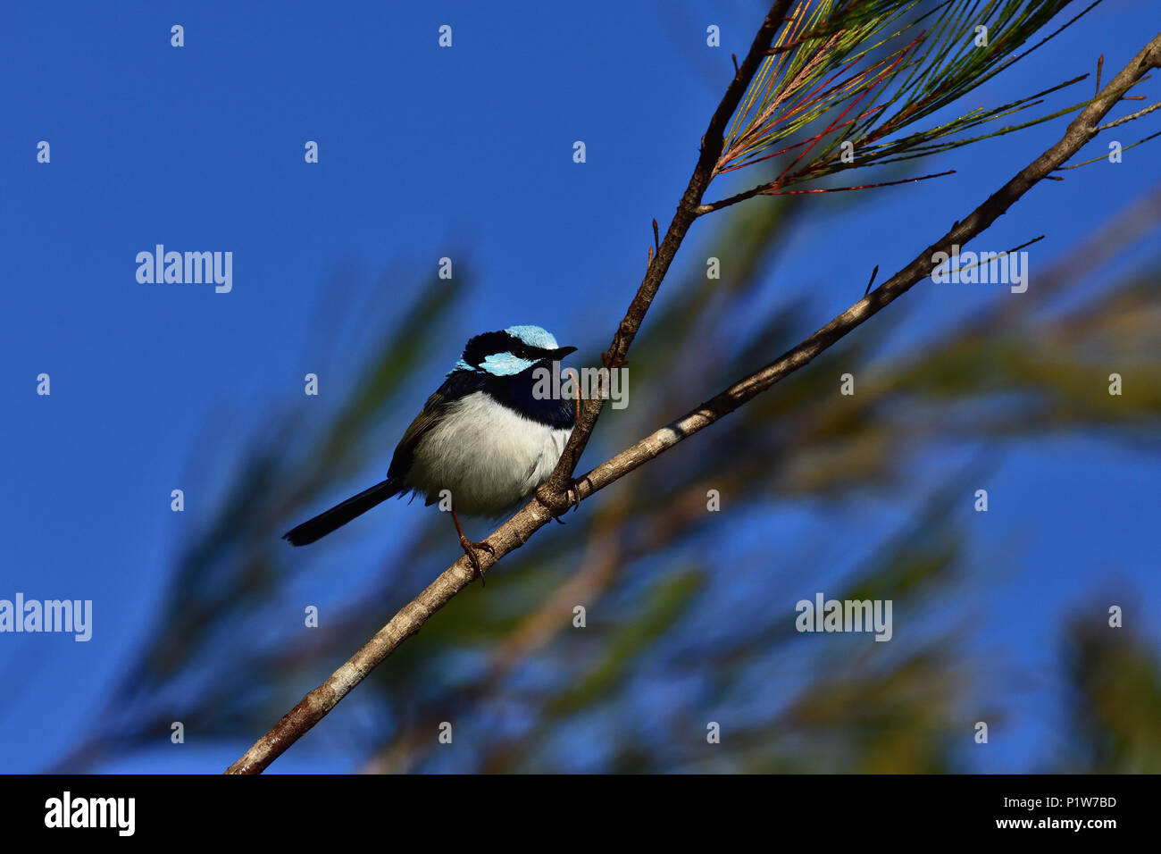 An Australian, Brisbane Queensland Male Superb Fairy-wren, Malurus cyaneus perched on a Tree branch looking for food - Stock Image