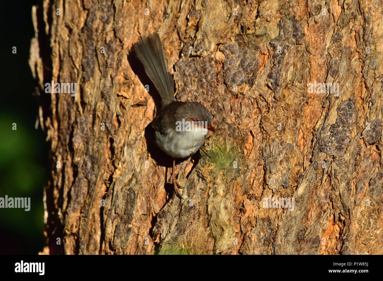 An Australian, Brisbane Queensland Female Superb Fairy-wren, Malurus cyaneus perched on a Tree trunk looking for food - Stock Image