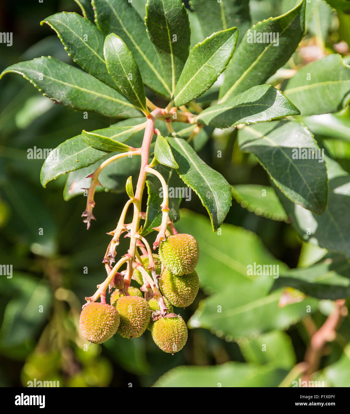 Arbutus Unedo fruit ( Ericaceae). Strawberry fruit - Stock Image
