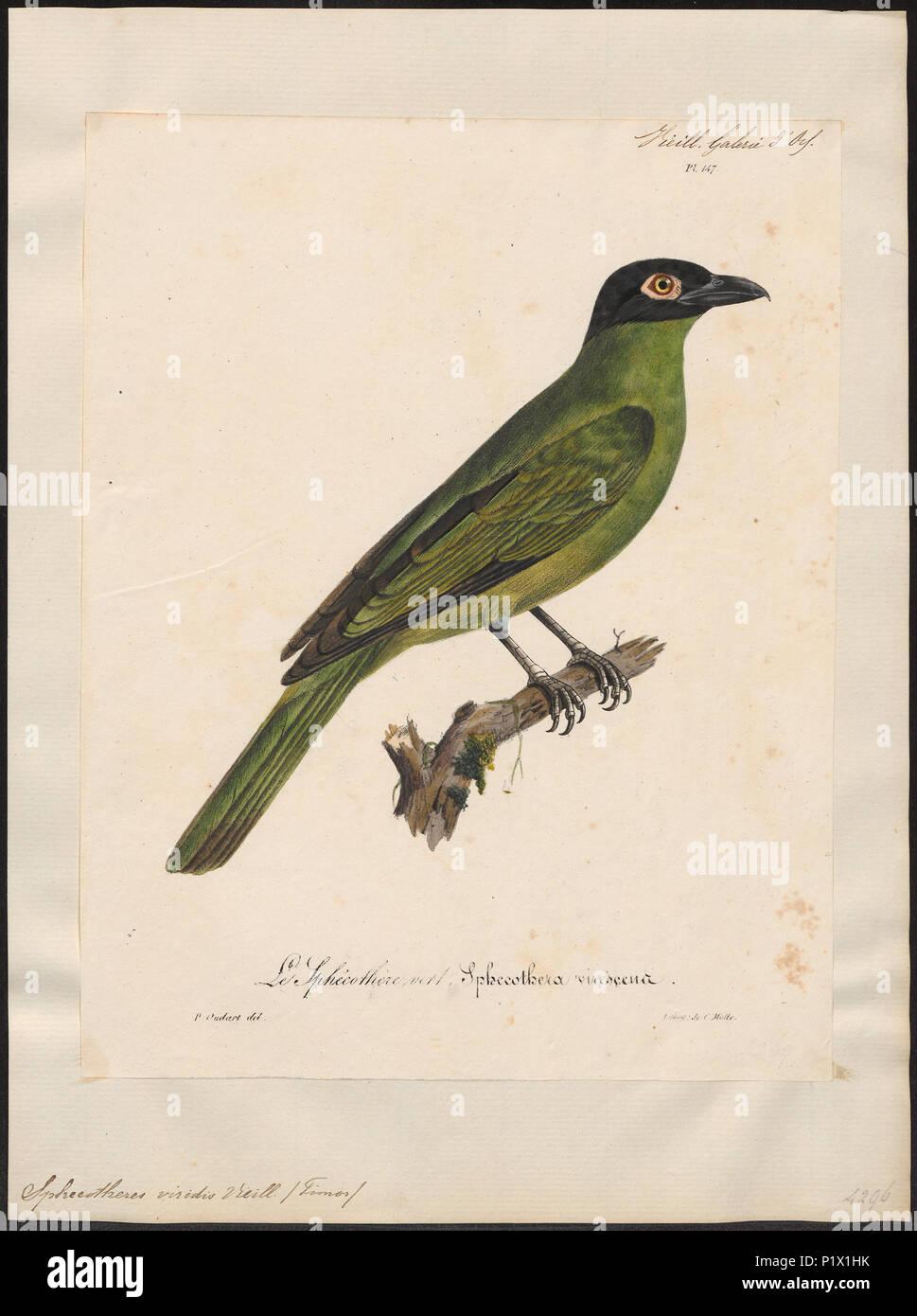 295 Sphecotheres viridis - 1825-1834 - Print - Iconographia Zoologica - Special Collections University of Amsterdam - UBA01 IZ16400155 Stock Photo