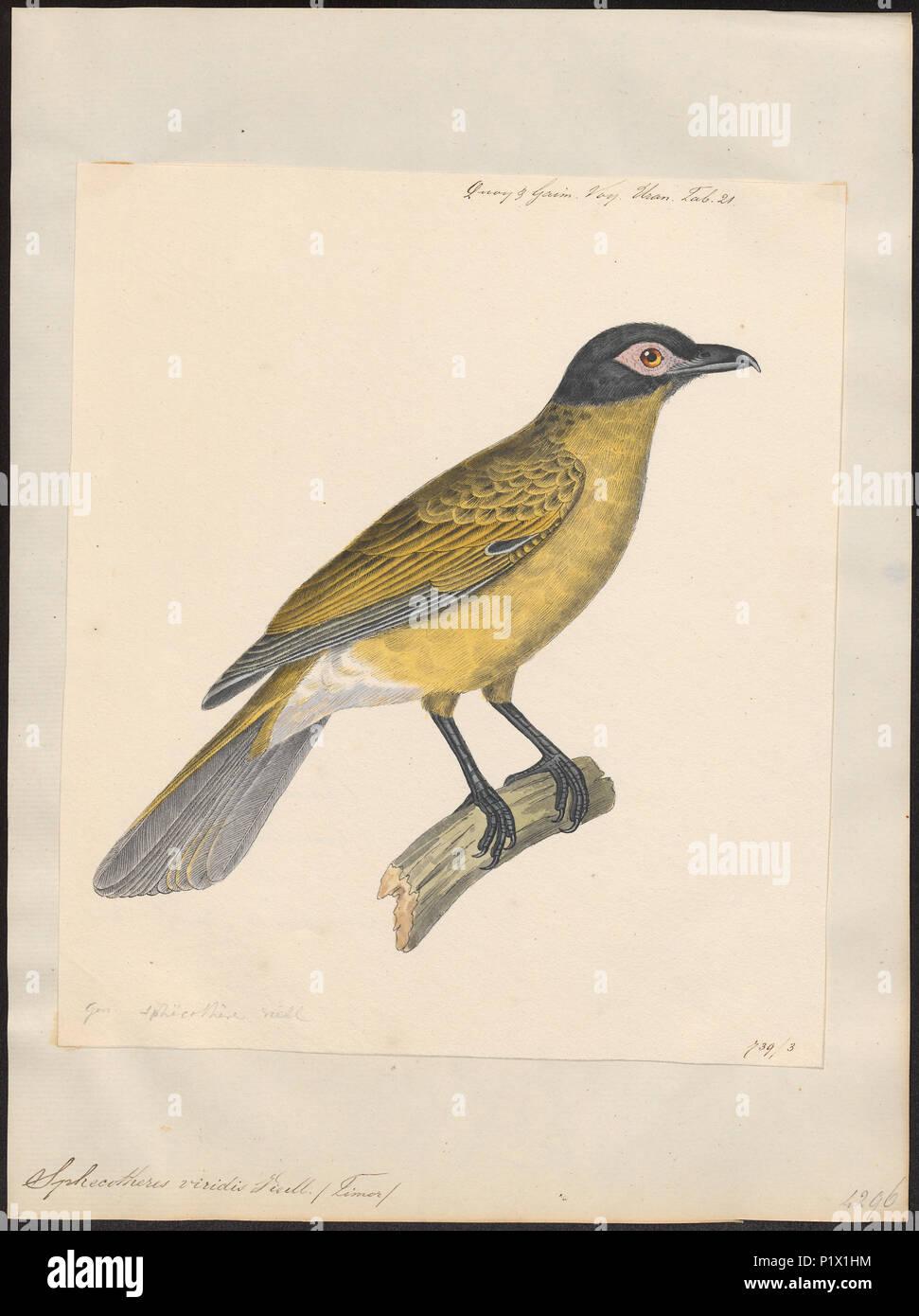 295 Sphecotheres viridis - 1824-1839 - Print - Iconographia Zoologica - Special Collections University of Amsterdam - UBA01 IZ16400157 Stock Photo