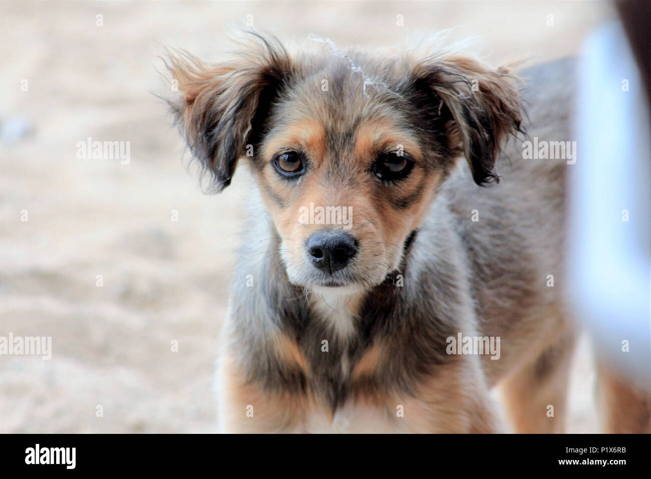 image of a abandoned brown stray dog on the beach - Stock Image