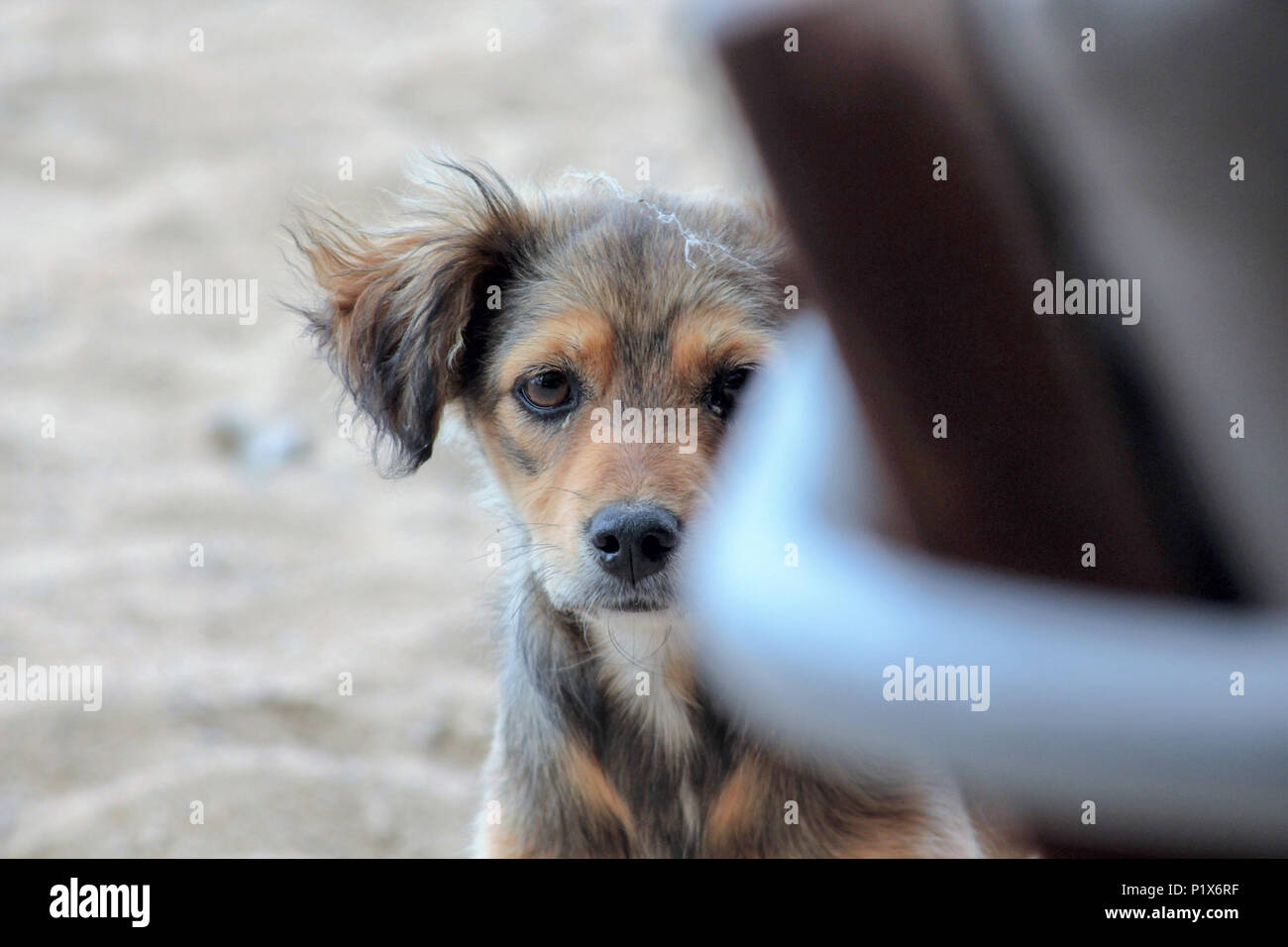 image of a abandoned stray dog peeps trough the chair on a beach - Stock Image