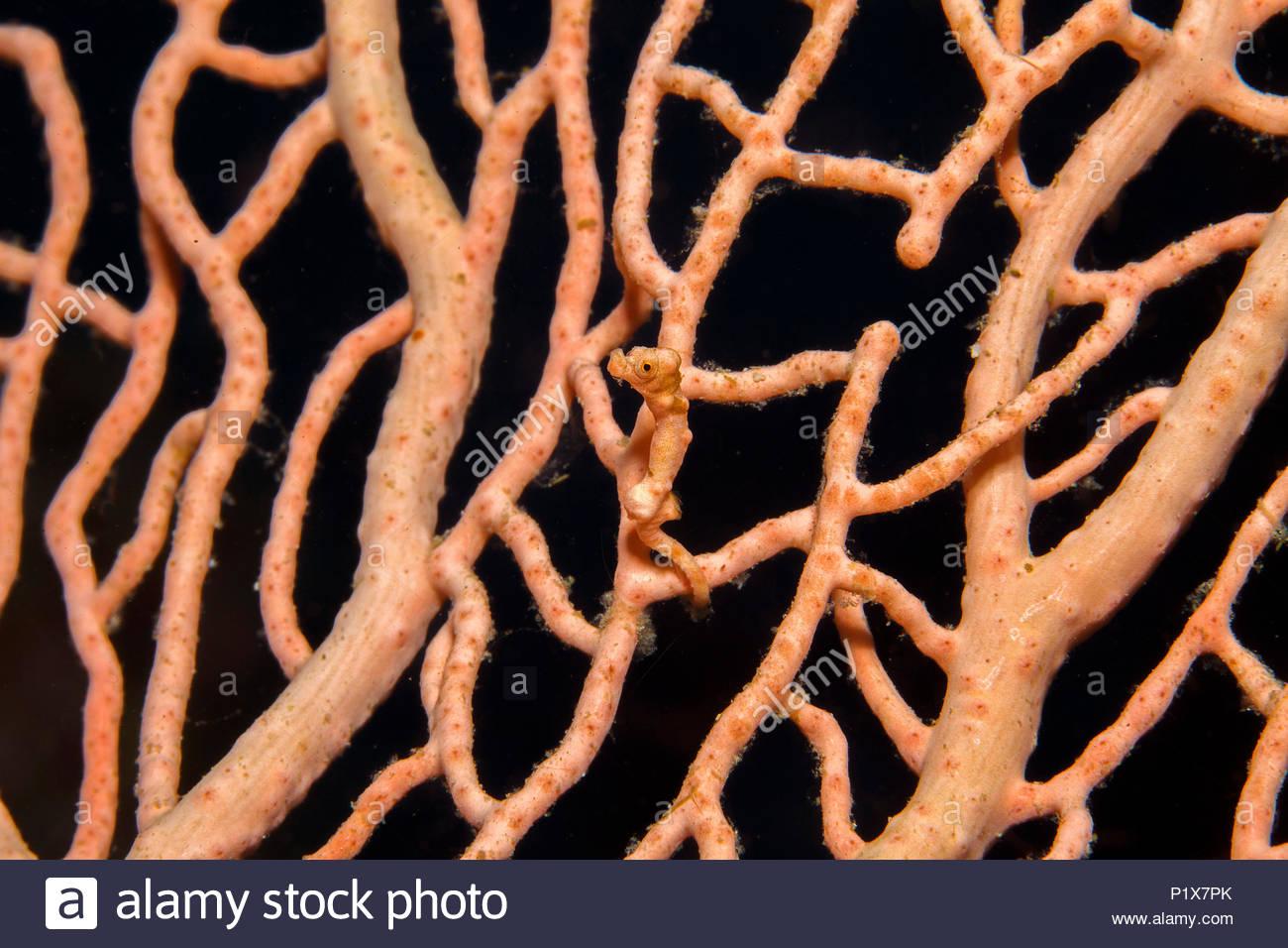 Denise-Zwergseepferdchen (Hippocampus denise), Bali, Indonesien | Denise's pygmy seahorse (Hippocampus denise), Bali, Indonesia - Stock Image