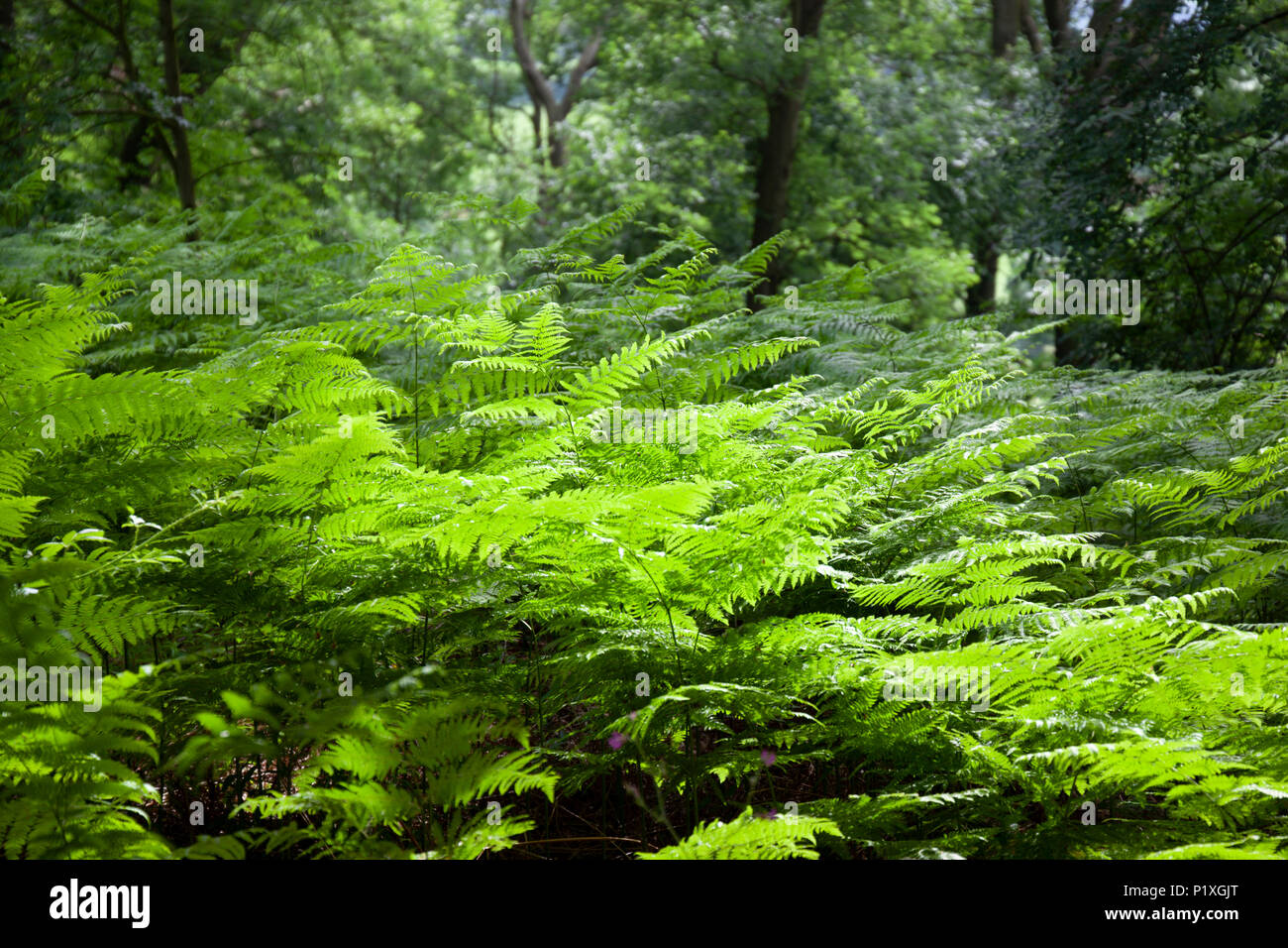 Green bracken backlit in deciduous woodland, Mickleton, The Cotswolds, Gloucestershire, England, United Kingdom, Europe - Stock Image