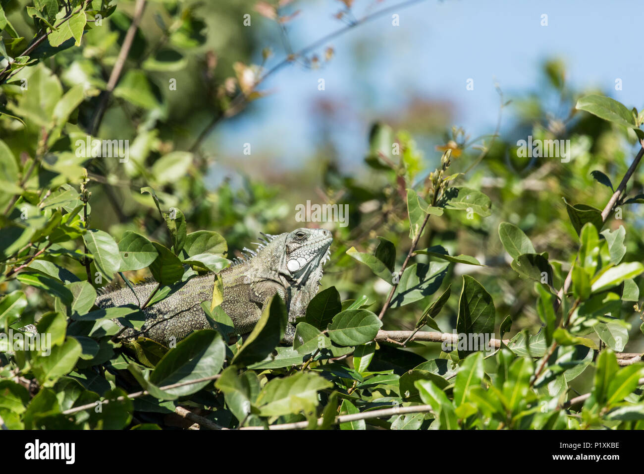 Green Iguana perched in a small tree in the Pantanal region, Mato Grosso, Brazil, South America - Stock Image