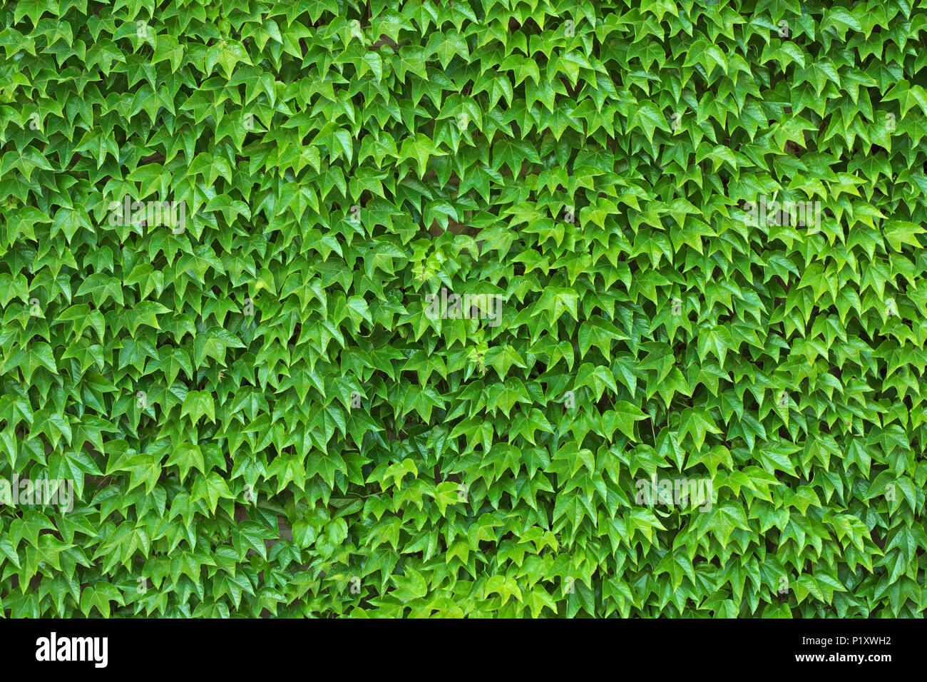 Dense ivy on wall fresh green leaves texture background Stock Photo