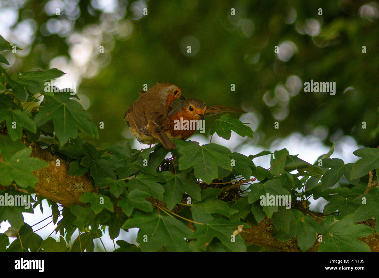 A young recently fledged robin still begging its parent for food in a tree - Stock Image