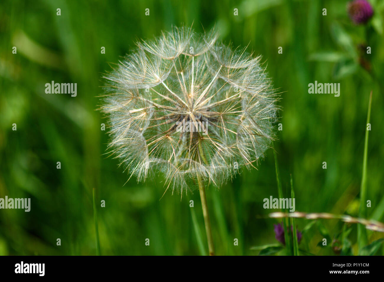 Goats beard 'clock' seedhead fully open waiting for the wind - Stock Image
