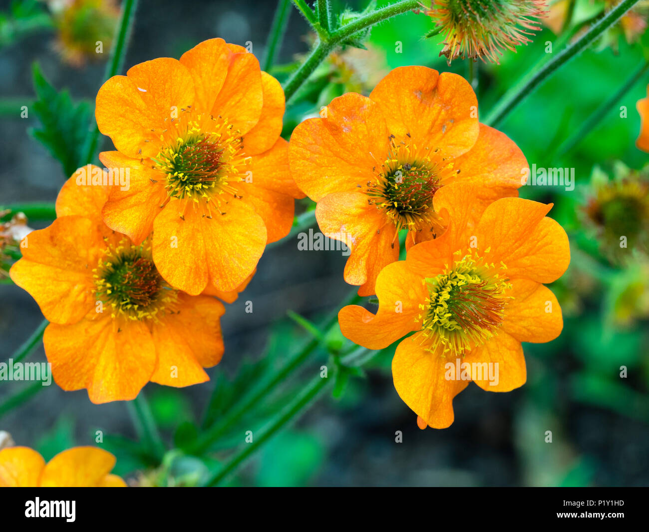 Orange summer flowers of the herbaceous perennial Avens, Geum 'Totally Tangerine' - Stock Image
