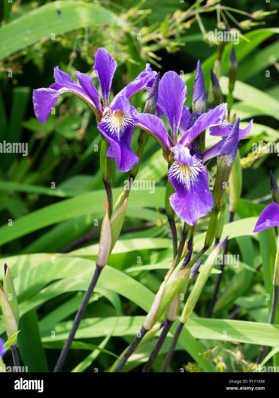 Flower and bud of the tall, upright water iris, Iris x robusta 'Dark Aura', an I.versicolor x virginica hybrid. - Stock Image