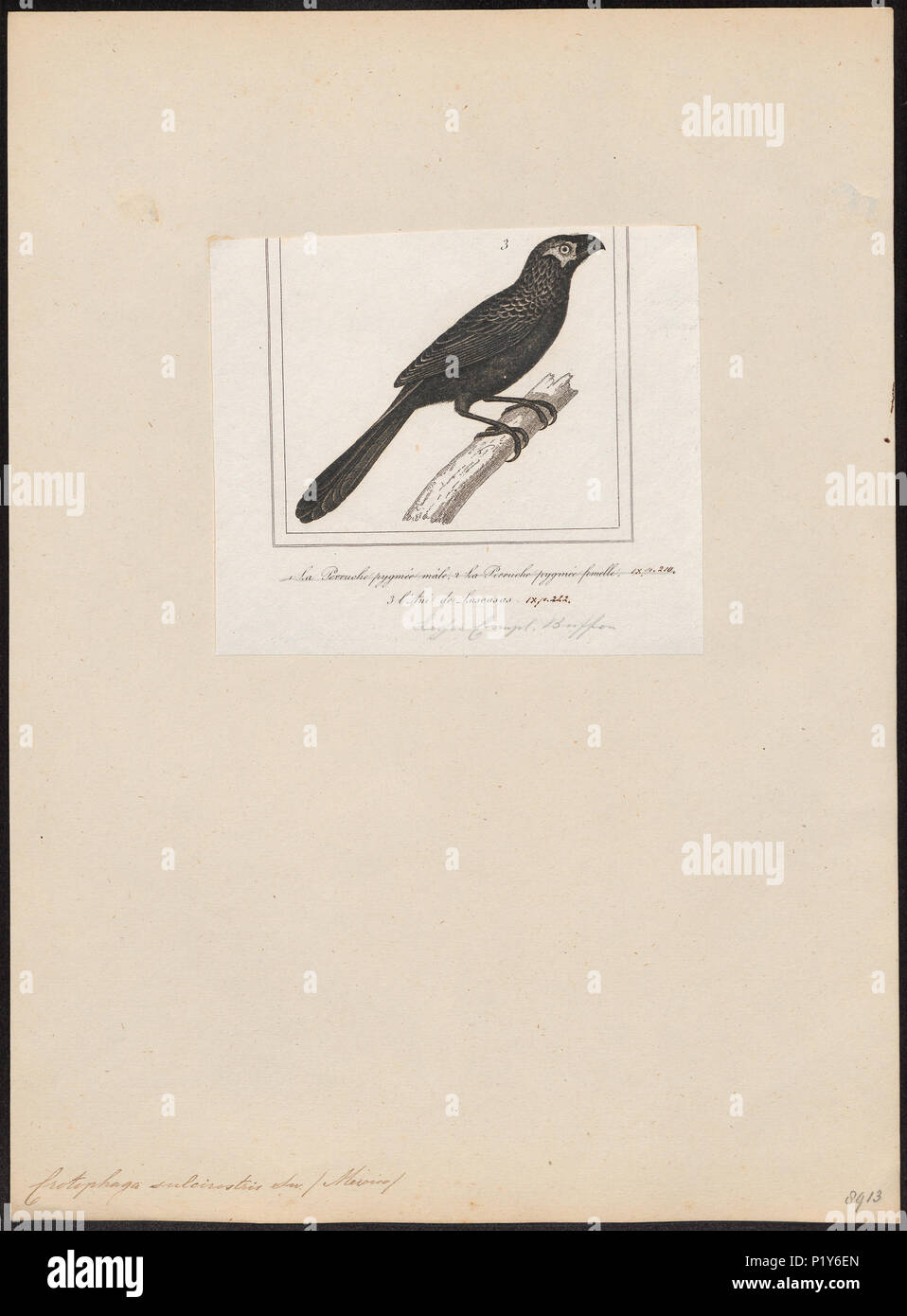 . Crotophaga sulcirostris . 1838 71 Crotophaga sulcirostris - 1838 - Print - Iconographia Zoologica - Special Collections University of Amsterdam - UBA01 IZ18800147 - Stock Image