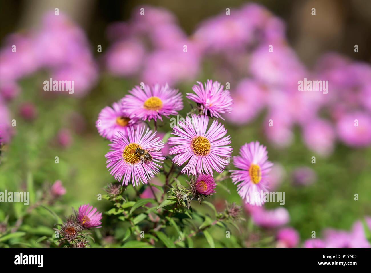 Bushy aster, Symphyotrichum dumosum, plant in the aster family with bee close-up. Picturesque bright plant in autumn - Stock Image