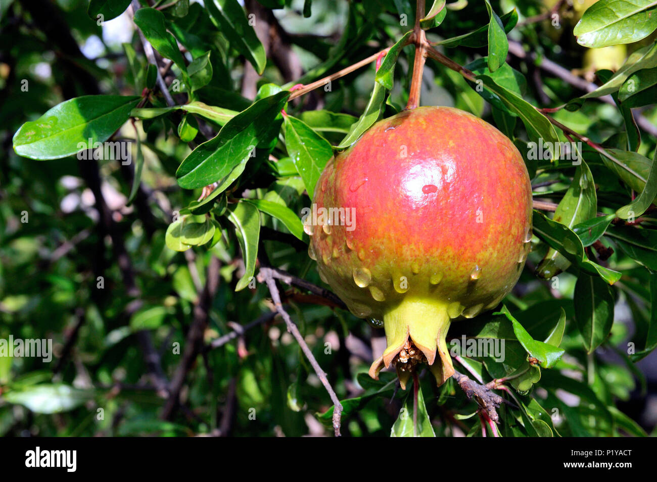 spain granada fruit of pomegranate stock photo 207739976 alamy