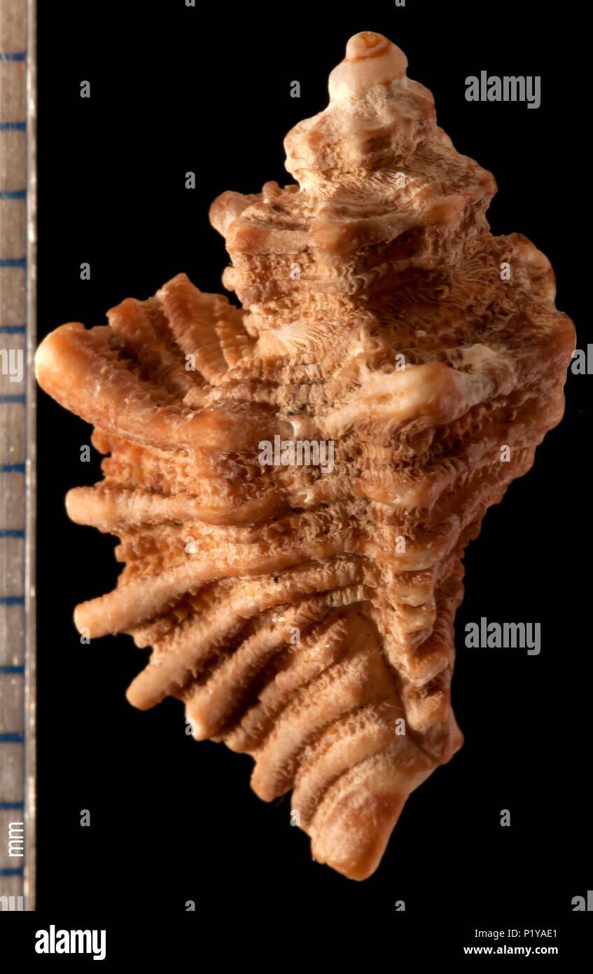 Seashell of Ocenebra erinacea. Malacology collection. Spain. Europe Stock Photo