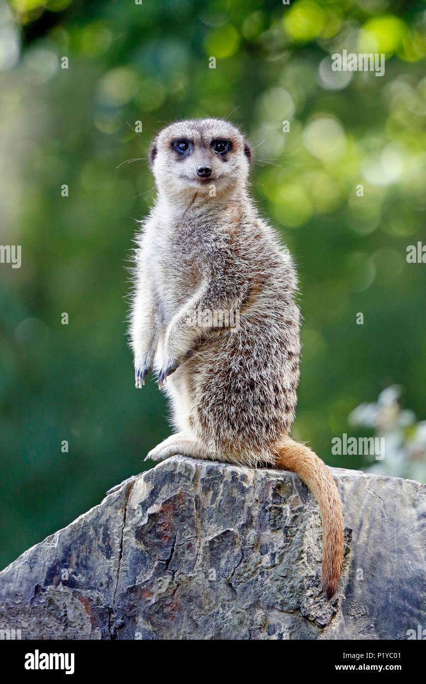 Africa. Namibia. Close-up on a suricate. - Stock Image