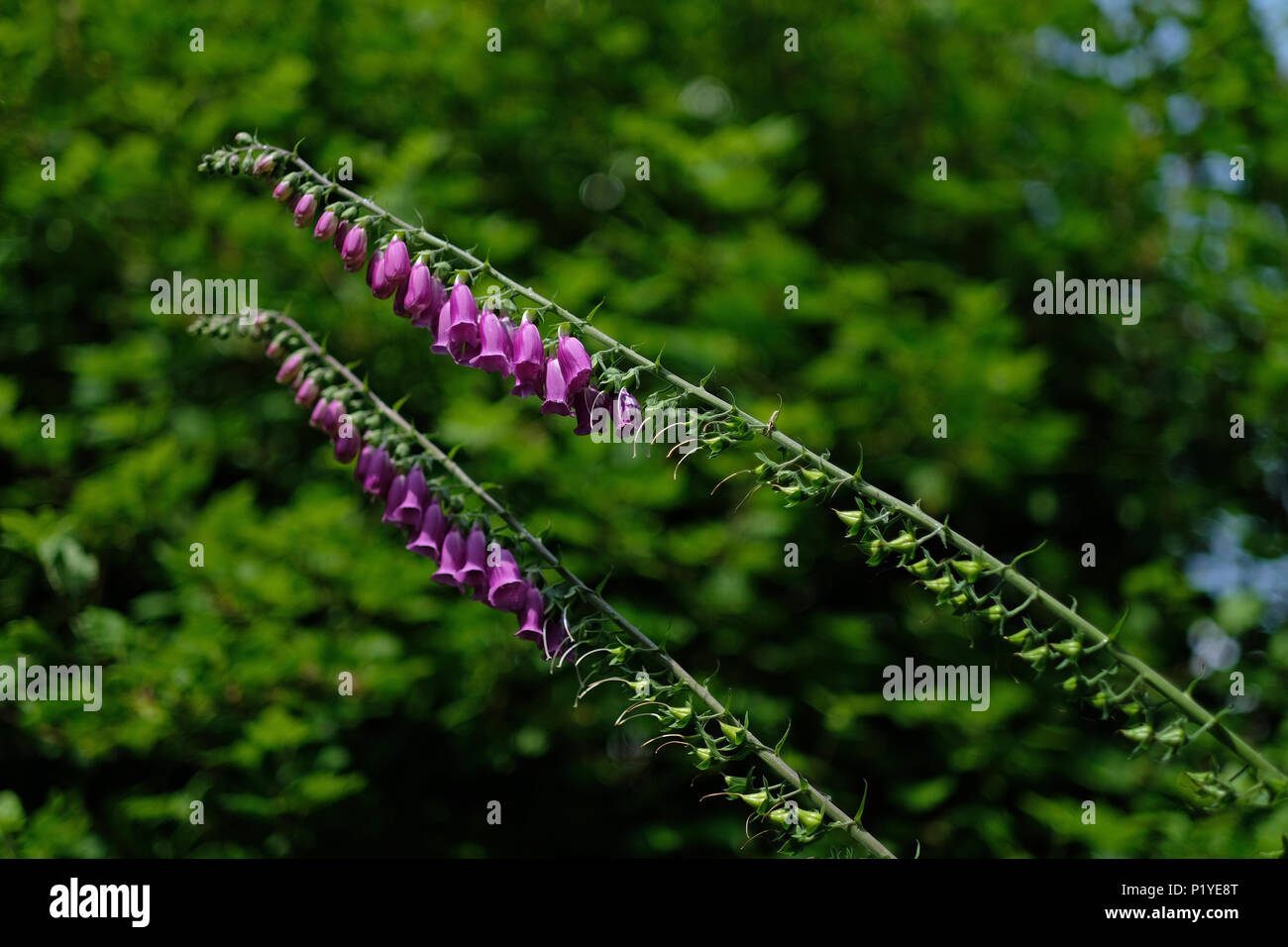 FOXGLOVES WITH BLURRED BACKGROUND - Stock Image