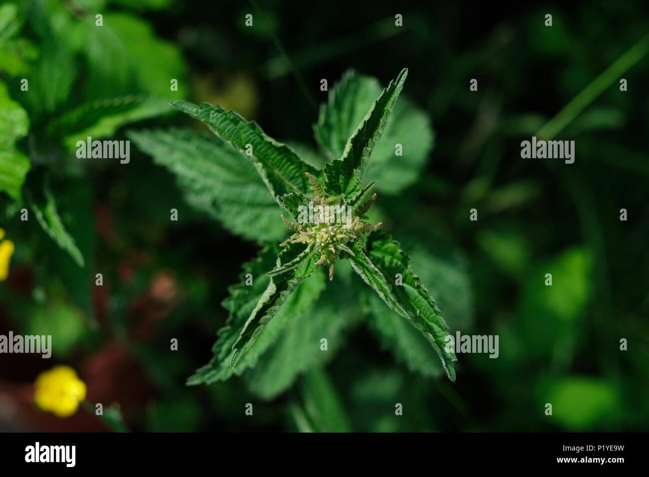 Stinging nettles with seeds with blurred background. - Stock Image