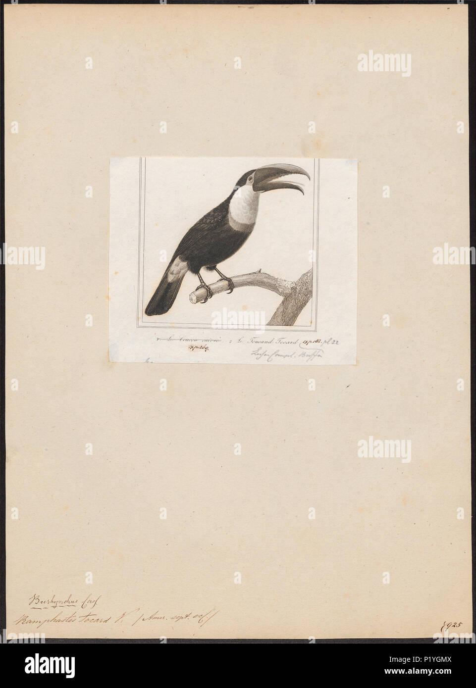 275 Ramphastos tocard - 1838 - Print - Iconographia