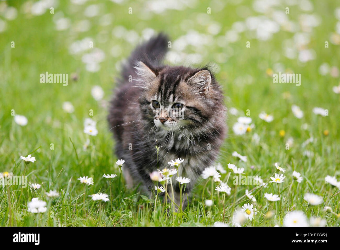 Seine et Marne. Female kitten aged 9 weeks running around in the grass. Daisies. Norwegian cat breed. - Stock Image