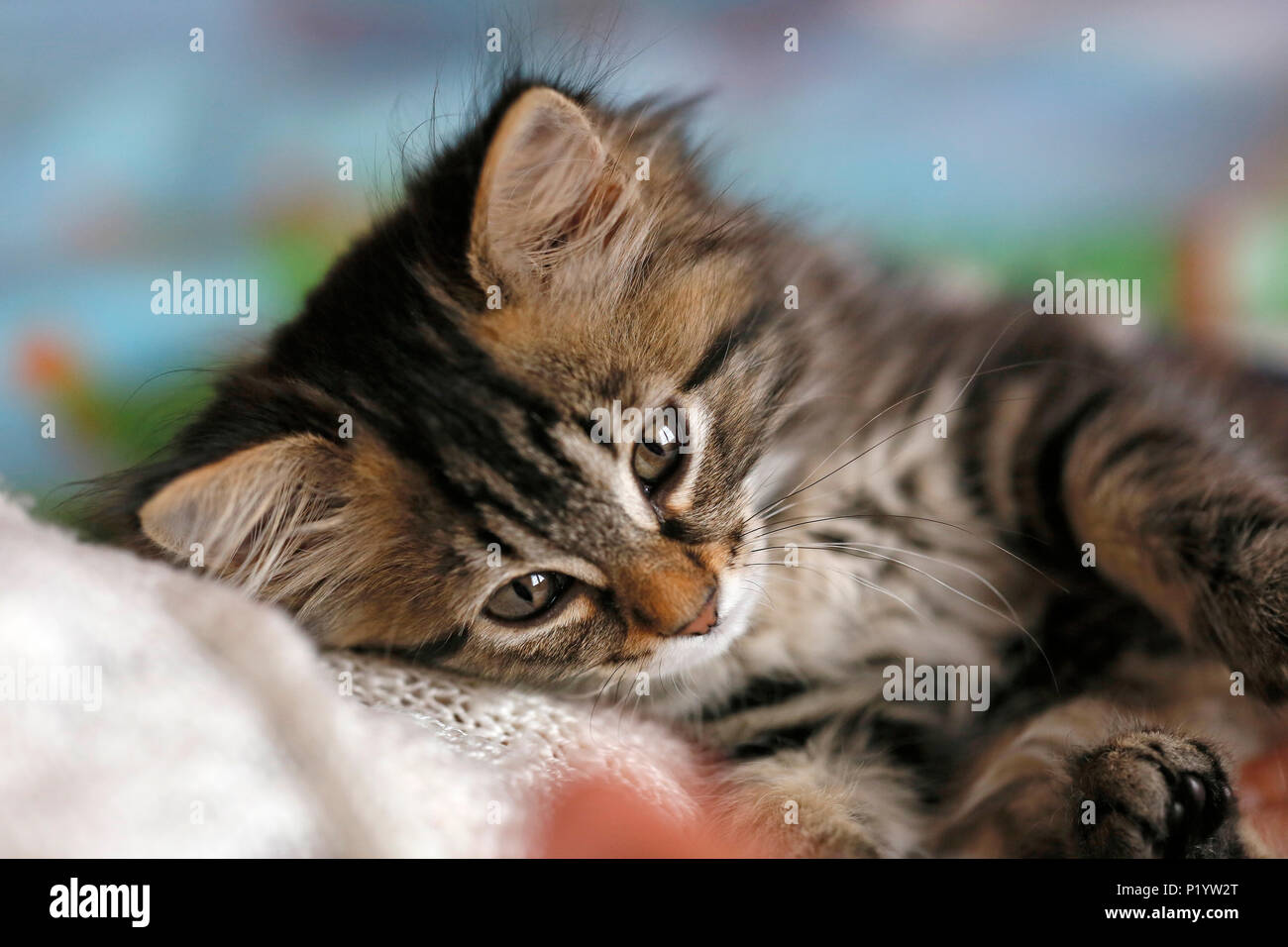 Seine et Marne. Close up of a female kitten aged 9 weeks lying on a bed. Norwegian cat breed. - Stock Image