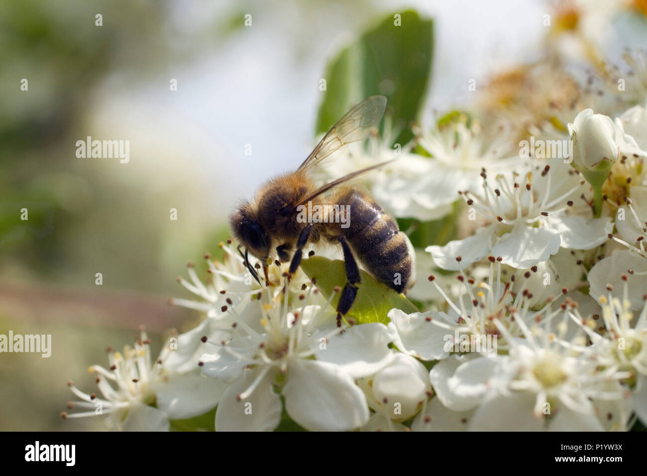 Close-up on a bee gathering nectar on a bloom hedge. - Stock Image